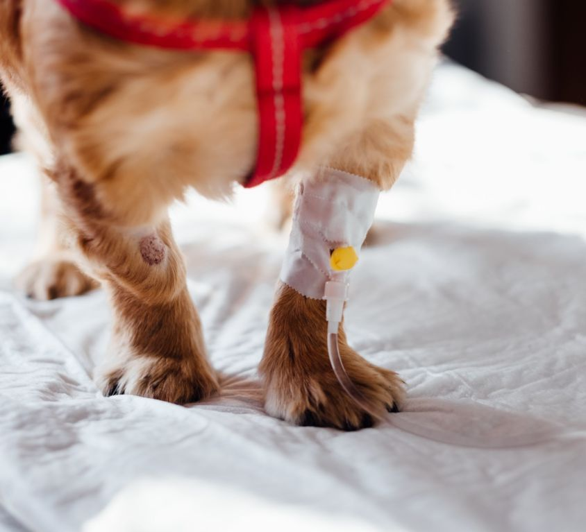 dog-with-intravenous-line-on-his-leg-4074725